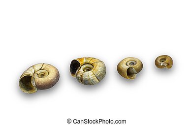 ramshorn snails - isolated row of ramshorn snails with...