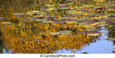 Gold Lily Pads Water Reflections Van Dusen Gardens - Gold...