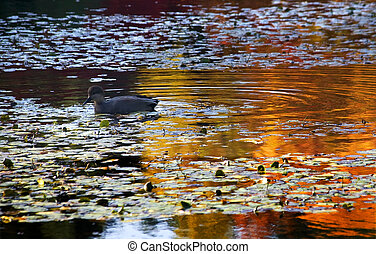 Van Dusen Duck in Water Reflections - Van Dusen Duck in...