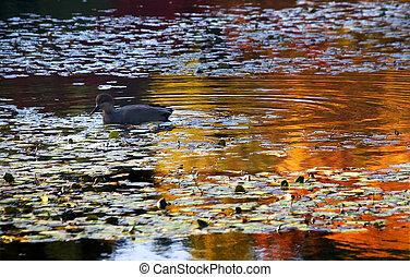 Van Dusen Duck in Water Reflections - Van Dusen Duck in...