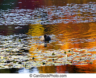 Van Dusen Duck Vancouver - Duck on Water with Reflections...