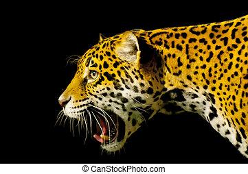 Roaring Jaguar - Roaring Adult Female Jaguar over black...