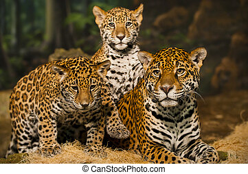 Jaguar Family - Two young Jaguar Cubs with their mother