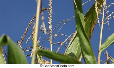 Maize crop ready for harvesting - Maize crop with ripened...