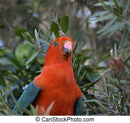 male king parrot - a male king parrot keeps a careful watch...