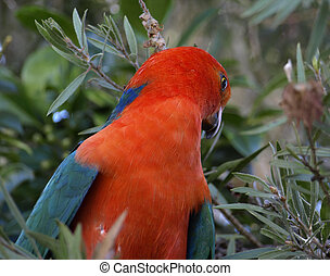 king parrot Alisterus scapularis - a male king parrot keeps...
