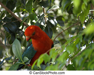 king parrot - male australian king parrot in a lillypilly...
