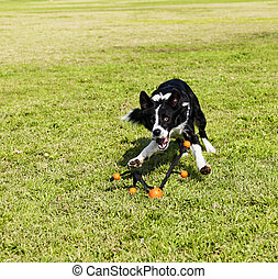 Border Collie Fetching Dog Toy at Park