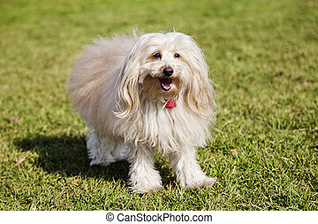 Toy Poodle Dog Portrait in the Park