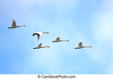 Tundra Swans Cygnus columbianus migrating in spring