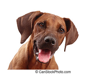 dog face, happy - rhodesian ridgeback dog looking off...
