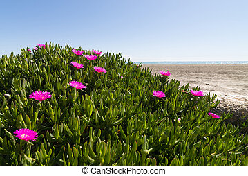 Ice plant - Pink flowering ice plant in a coastal area