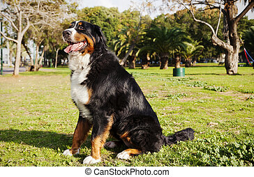 Berner Sennenhund Dog Portrait at the Park - Portrait of a...