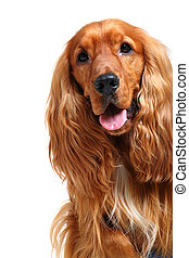 Inglés, cocker, spaniel