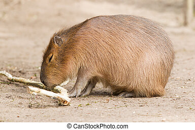 Capybara (Hydrochoerus hydrochaeris) sitting in the sand,...
