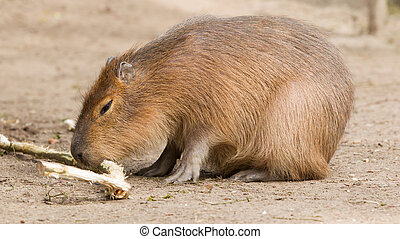 Capybara Hydrochoerus hydrochaeris sitting in the sand,...