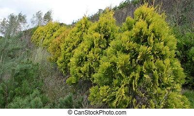 thuja alley row evergreen - row of thuja evergreen bush...
