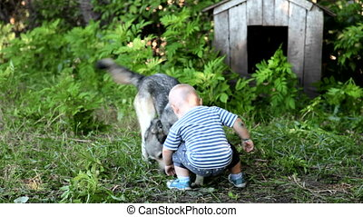 child playing with a dog - child playing with east siberian...