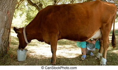 Cow during milking - Cow during pasture milking