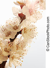 apricot flower - beautiful apricot tree blossoms in spring,...