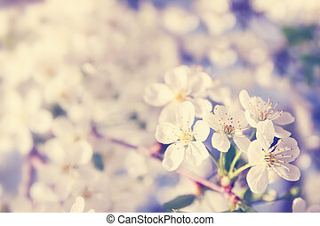Spring cherry, tinted - Spring cherry blossoms on a sunny...