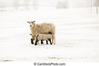 Newborn Lambs - newborn lambs suckling in the snow