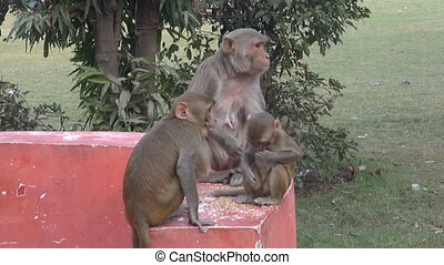 monkey family eating grain food