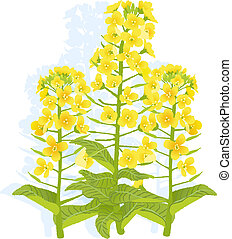 Canola flowers - Illustration of rapaseed flowers with on...