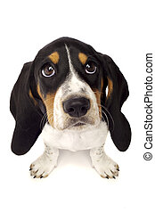 Basset Hound Puppy From Above Isolated on a White Background...