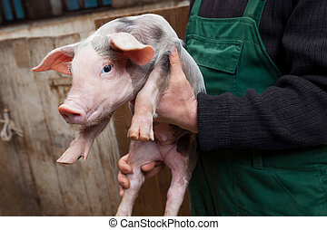 Young piglet on hands - Farmer holding on hands young piglet...