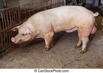 Old boar, landrace breed
