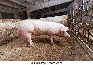 Young boar, landrace breed
