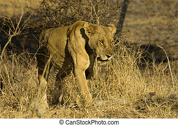 Lioness in Mikumi National Park - Lonely lioness in savannah...