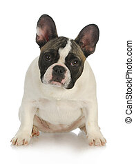 french bulldog sitting looking at viewer isolated on white...