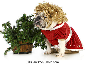 mrs claus - english bulldog dressed up like mrs claus...