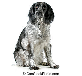 dog sitting - spaniel mix sitting looking at viewer isolated...
