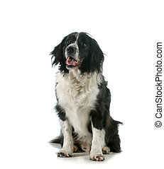 happy dog - spaniel sitting with tongue out panting isolated...