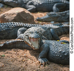 crocodile with an open mouth