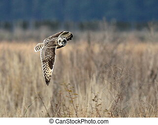 Short-eared Owl in Flight - A Short-eared Owl Turning to...