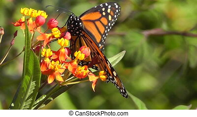 Monarch Butterfly - Macro footage of Monarch Butterfly...