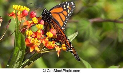 Monarch Butterfly - Macro footage of Monarch Butterfly...
