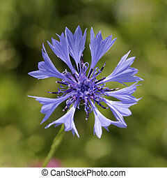 Cornflower, Bachelors button - Centaurea cyanus, Cornflower,...