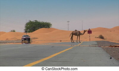 Dromedary on street with car 01 - Dromedary on street with...