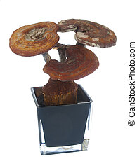 Ganoderma in a flowerpot,