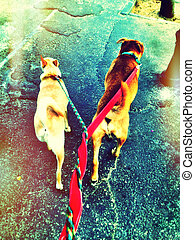 Entwined Dogs - Owner's view of a couple of dogs walking on...