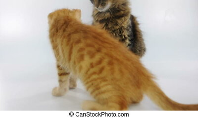 Kittens playing together - Two young cats playing and...