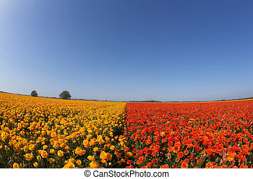 """The buttercups, photographed by an objective""""Fish eye"""""""