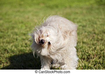 Toy Poodle Dog Shaking Head in the Park