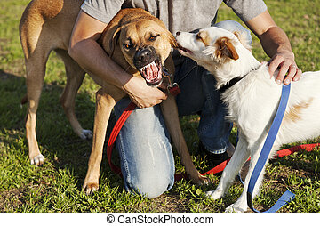 Two Dogs and Trainer Playing in Park - Two mixed breed dogs...
