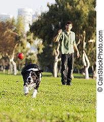 Border Collie Catching Dog Ball Toy at Park - A Border...